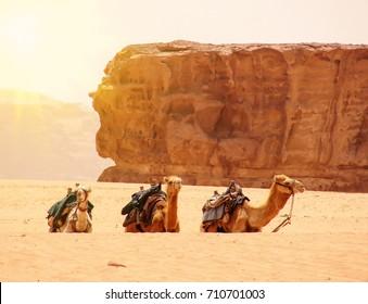 Camels in the dunes of Wadi rum desert, Jordan. Desert travel background.