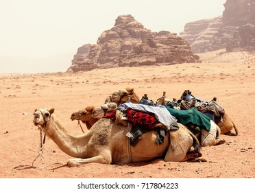Camels in the dunes of Wadi rum desert, Jordan. Wadi Rum also known as The Valley of the Moon. Desert travel background.