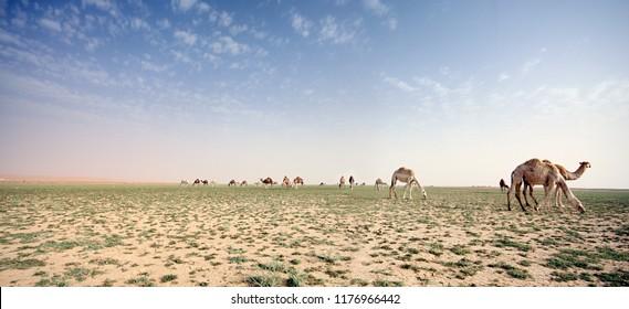 Camels eating plant in a desert