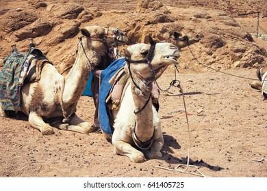Camels. Egypt.