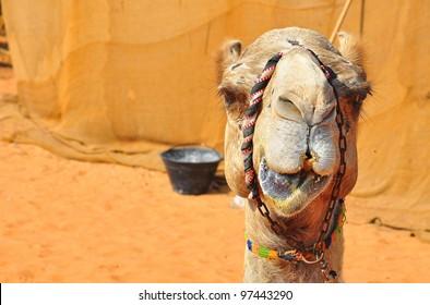 camel's face