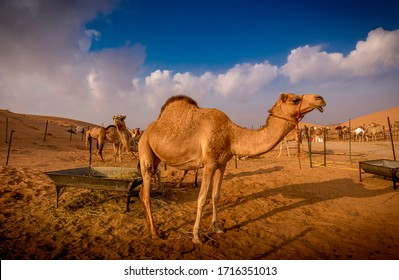 Camels in a farm somewhere in Al Ain