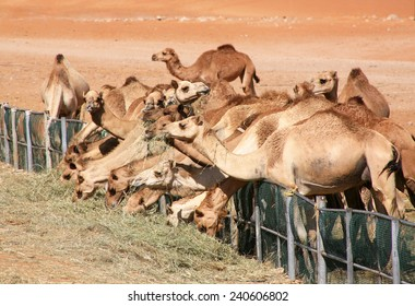 Camels feeding on grass in the desert in Al Ain, UAE.