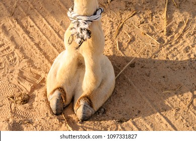 Camel's foot (camel toe)