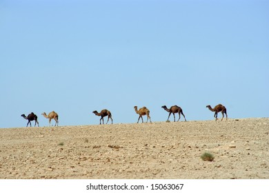 Camels in front of a blue sky