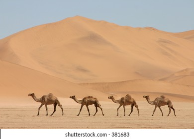 Camels in front of a dune