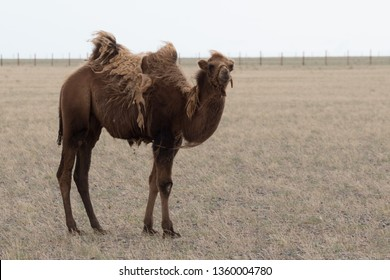 Camels in the Gobi desert
