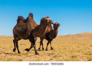 Camels in the Gobi desrt