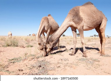 camels grazing in western sahara