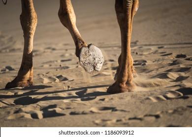 Camel's hoof in sand