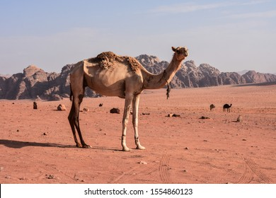 the camels of the Jordanian desert of Wadi Rum