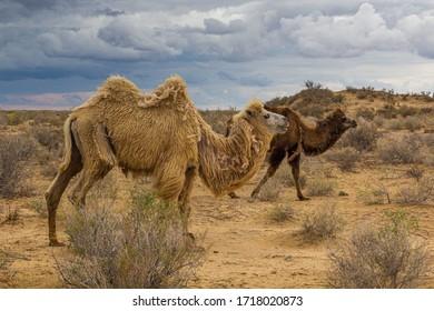 Camels in Kyzylkum desert, Uzbekistan