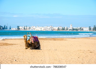 Camels lying on the sandy beach by the sea in Essaouira beach, Morocco