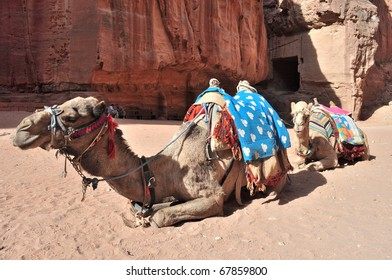 Camels in Middle East