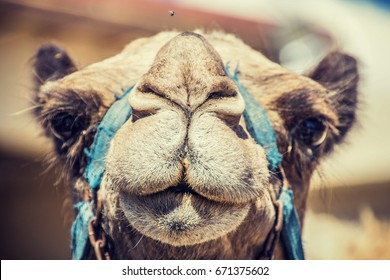 """""""Camel's Muzzle"""" Just a camel looking straight into my camera."""
