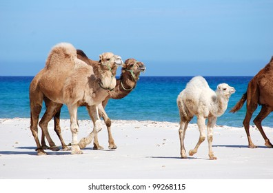 Camels on the beach, Kelibia, Tunisia