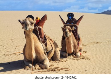 Camels on the beautiful tropical paradise island, Cape Verde