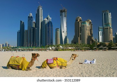 Camels on Dubai Marina Beach, United Arab Emirates