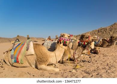 Camels on the egyptian desert