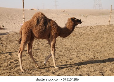 Camels on a farm in the desert of Saudi Arabia.