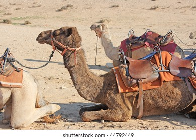 Camels on the hot sand in the desert