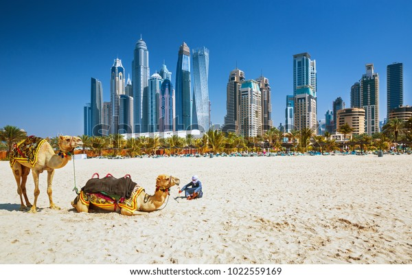 Camels on Jumeirah beach and luxury skyscrapers in the backround, Dubai, United Arab Emirates