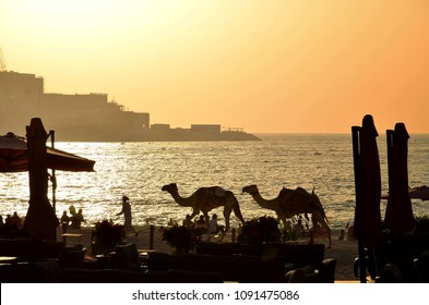 The camels on Jumeirah beach and sea in the backround ,Dubai, United Arab Emirates