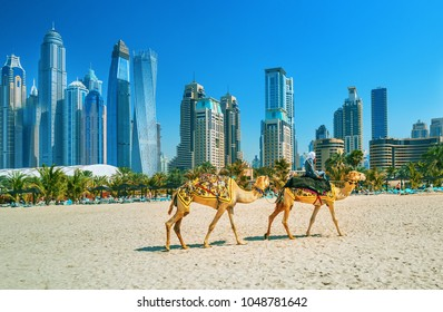 The camels on Jumeirah beach and skyscrapers in the backround in Dubai, Dubai, United Arab Emirates