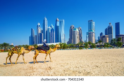 The camels on Jumeirah beach and skyscrapers in the backround  ,Dubai, United Arab Emirates