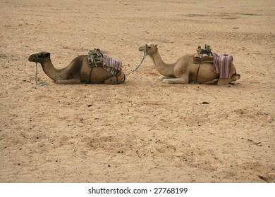 camels on sahara desert