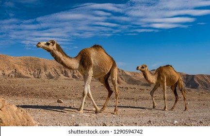 Camels on its way in the remote region of the Judean desert, Israel