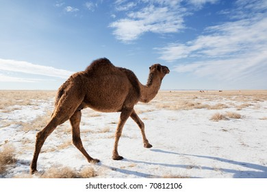 Camels on winter desert in Kazakhstan