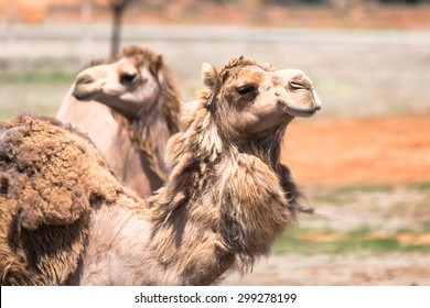 Camels in outback Australia. Beautiful camel, brown camel, camel looking, camel at the zoo, camel in Australia, Africa camel, the camel looks at animals, camel in the desert. Image of camel in desert.