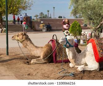 Camels in the parks on the outskirts of Marrakech, Morocco