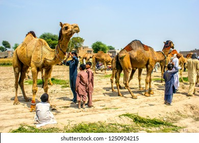 Camels people come to participate local village event, which arrange every year in month of April dated 01/04/2017 district of saiwal Punjab.