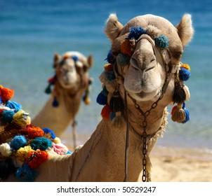 Camel's portrait