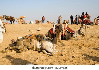 Camels at the Pyramids of Giza