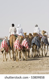Camels at the races.  A popular sport in Doha, Qatar and the rest of the Middle East