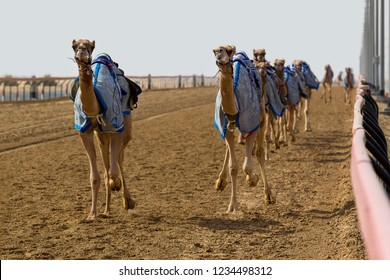 Camels racing fast in Dubai with a robot jockey on the track