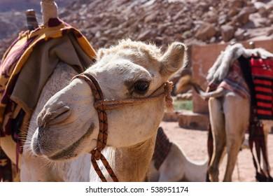 Camels rest and drink at Lawrence Spring, Wadi Rum, Jordan