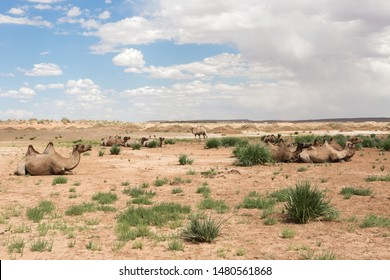 Camels rest in the oasis with green grass of the Gobi Desert. In the background are flaming rocks, blue skies and white clouds.