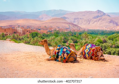 Camels rest on the border of a cliff with a village on the back. It is located in Morroco, Africa.