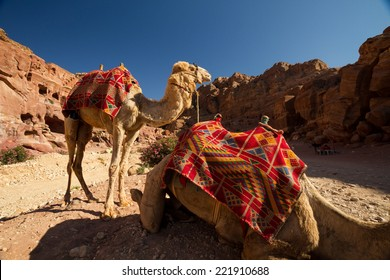 Camels resting in the archaeological site of Petra, Jordan.