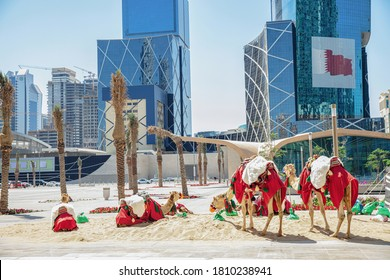Camels resting in the center of Doha, Qatar.
