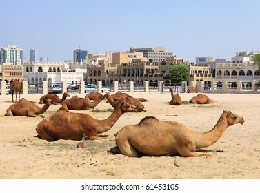 Camels resting in a compound in central Doha, Qatar, with the main souq, Souq Waqif in the background. Logos removed.