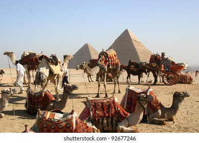 Camels resting near the great pyramid at Giza Egypt