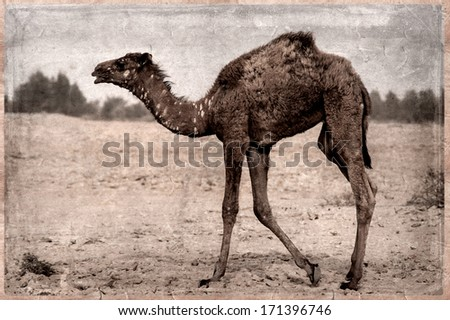 promo code 97034 d7dd3 Camels- retro - In the Qatar desert, Old Postcard style