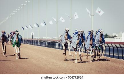 Camels with robot jokeys at racing practice near Dubai, UAE