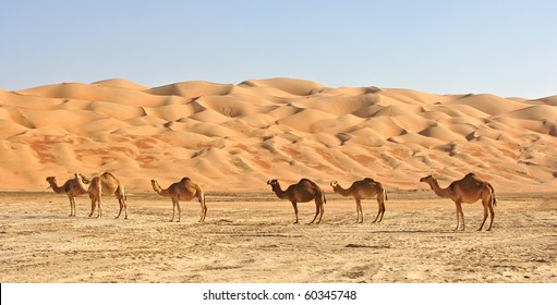 Camels in the Rub al Khali or Empty Quarter. Straddling Oman, Saudi Arabia, the UAE and Yemen, this is the largest sand desert in the world.