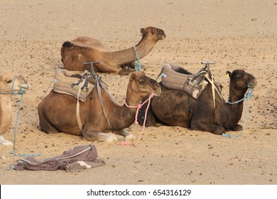 Camels saddled up and ready to take tourists on an overnight trek in the Erg Chebbi sand dunes of the Sahara Desert, Morocco.